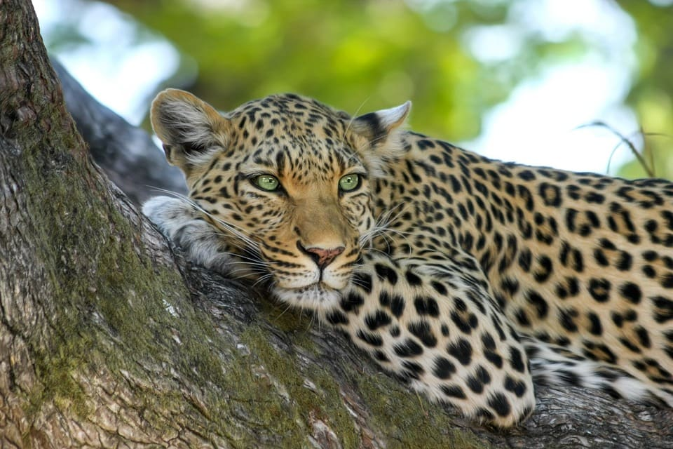 Mjejane-Accommodation-leopard-Tree