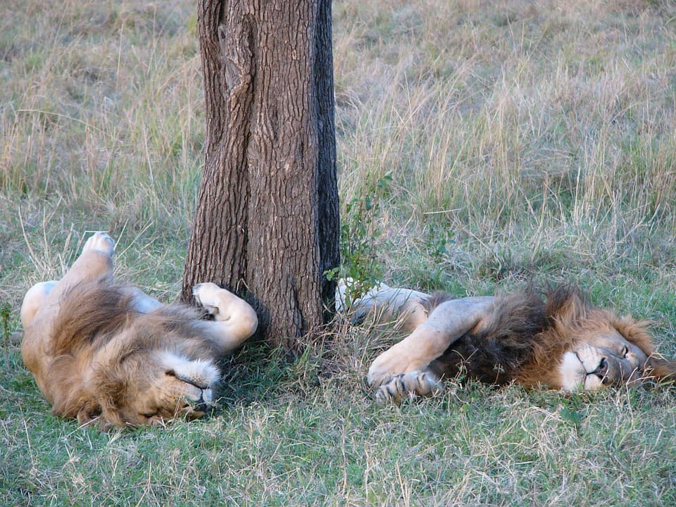 Mjejane-Accommodation-Lions